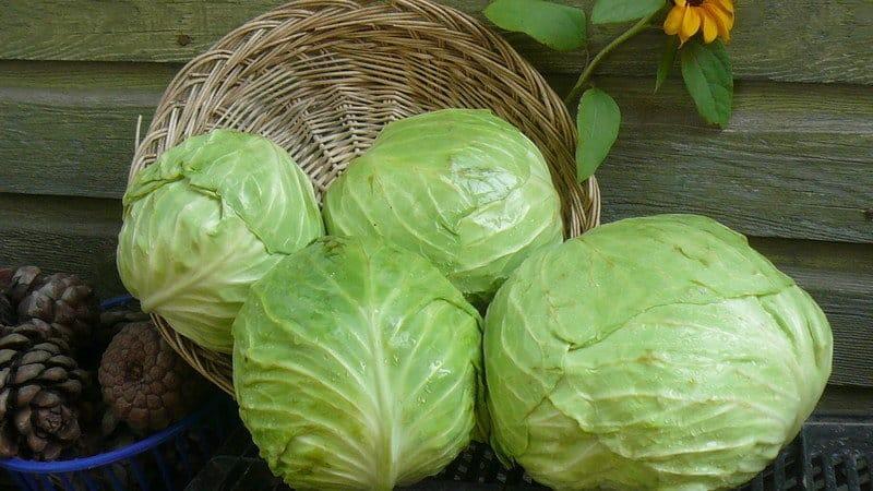 Хранение свежей капусты до весны — какие нужны условия